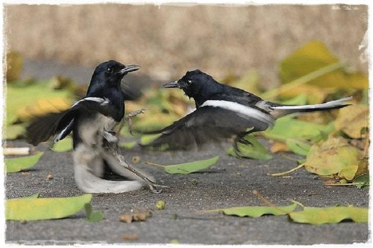 Cara Merawat Burung Kacer Petarung