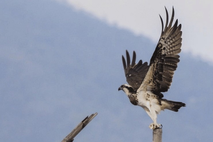 Ciri Burung Elang Tiram