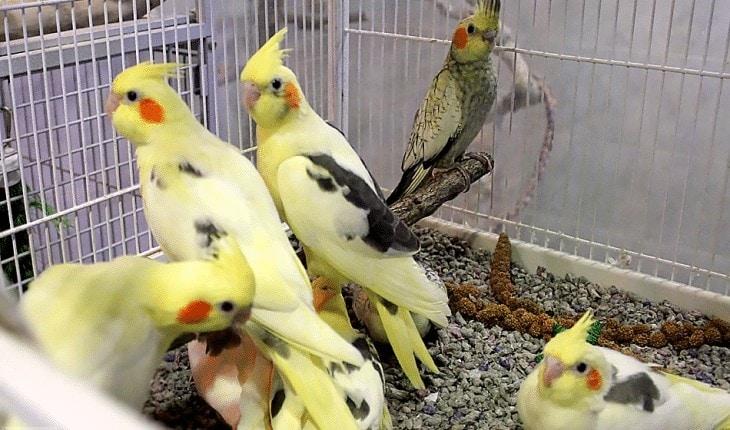 Perbedaan Burung Cockatiel Jantan dan Betina