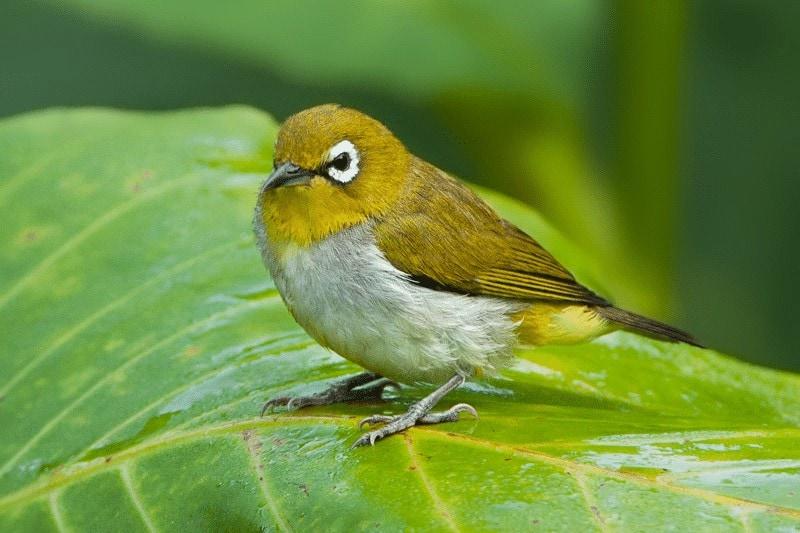 Penyakit Pada Burung Pleci