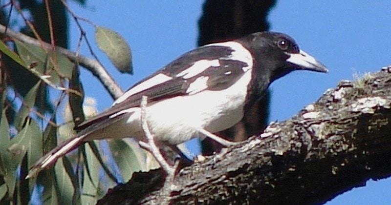 Burung Jagal Papua