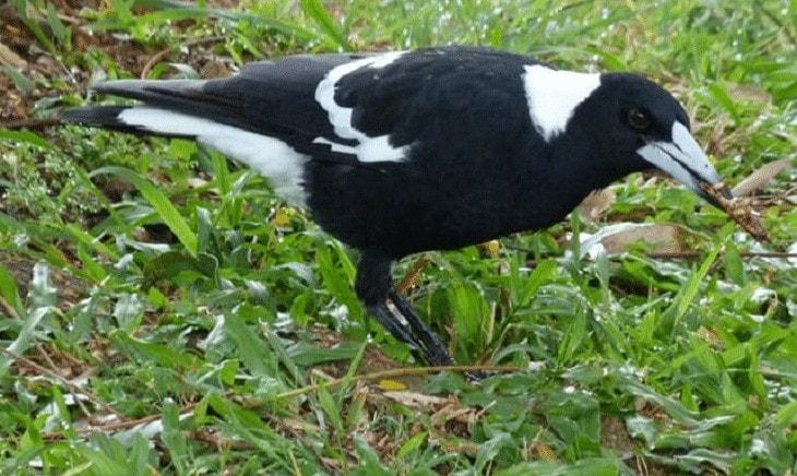 Keunikan Burung Jagal Papua