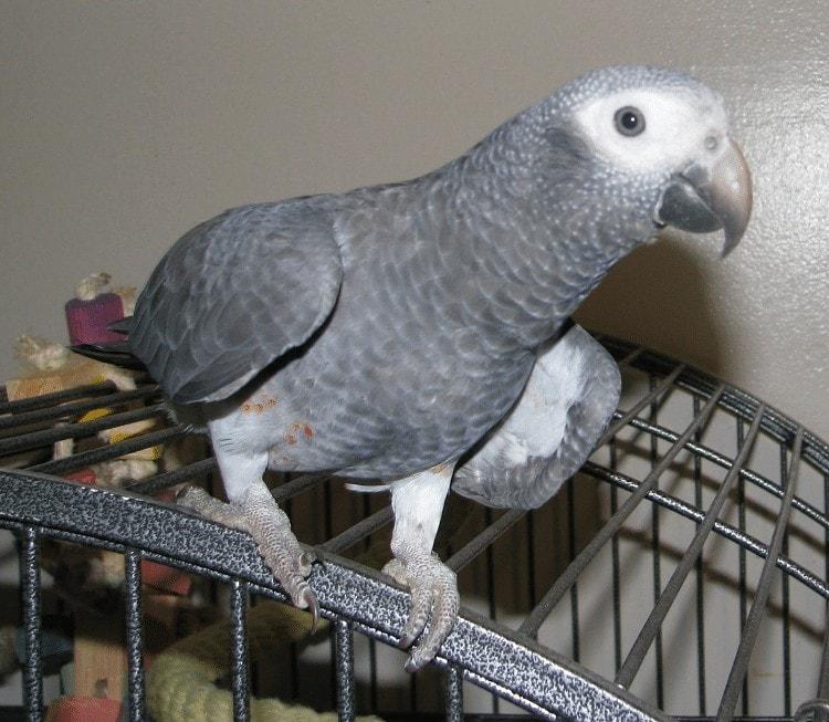 Burung African Grey Parrot