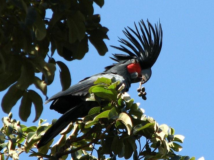 Burung Kakaktua Raja Hitam