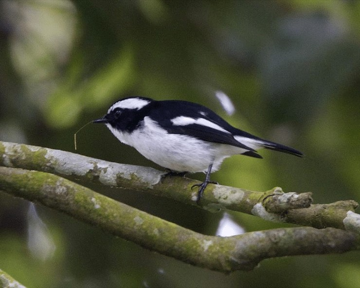 Burung Sikatan Belang