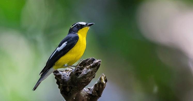 Burung Sikatan Emas