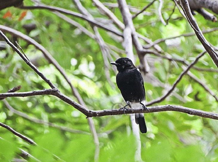 Burung Decu Belang