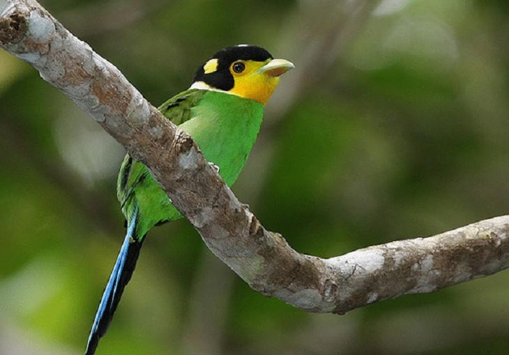 Perilaku Burung Madi Injap