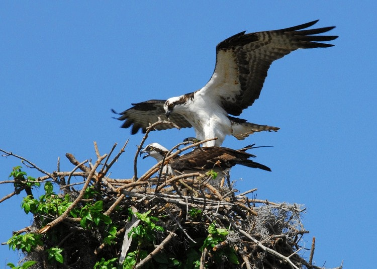 Perkembangbiakan Burung Elang Tiram
