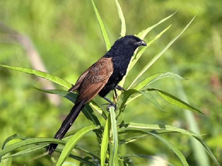 Populasi Burung Bubut Jawa