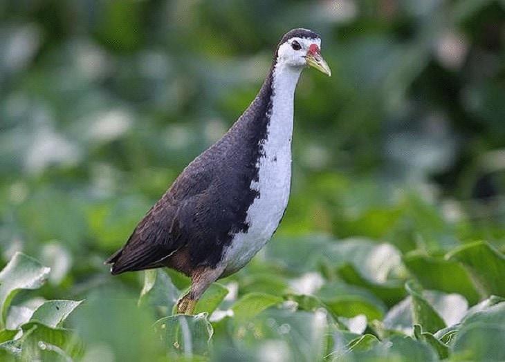 Populasi Burung Truwok