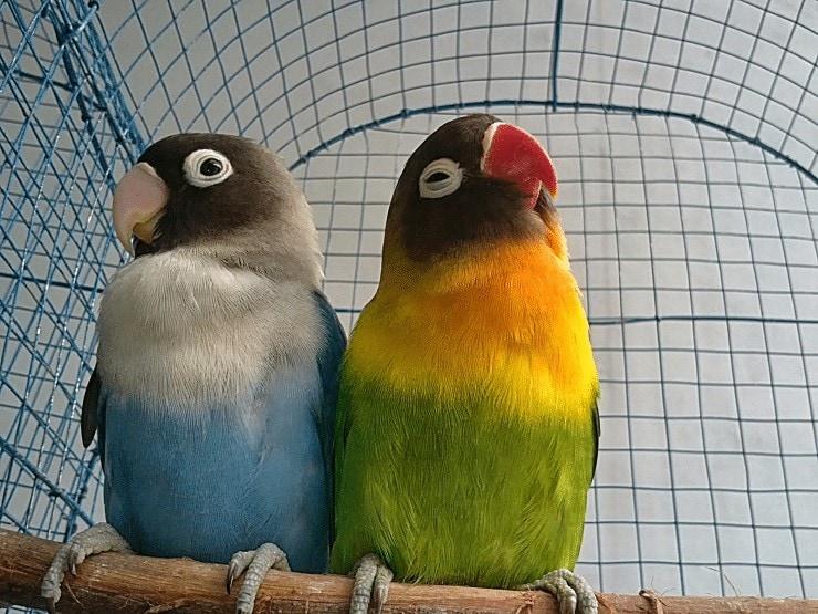 Bulu Lovebird Kusam