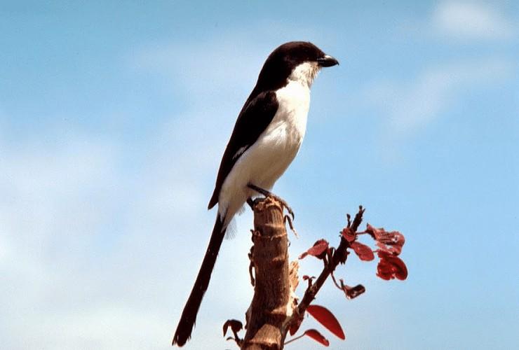 Burung Cendet Sering Salto