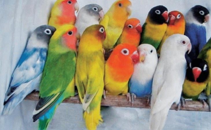 Cara Mempercantik Bulu Lovebird