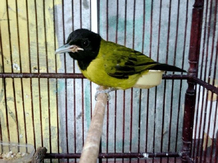 Menangkarkan Burung Samyong