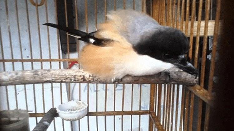 Cara Mengatasi Burung Cendet Ngeruji