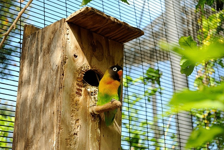 Mengontrol Birahi Lovebird