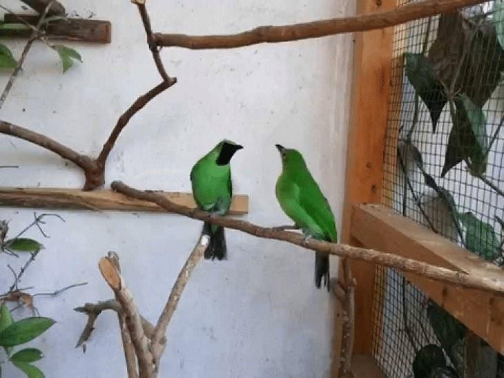 Beternak Burung Cucak Hijau