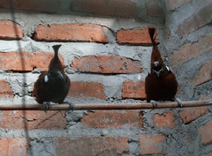 Pengembangbiakan Burung Cililin
