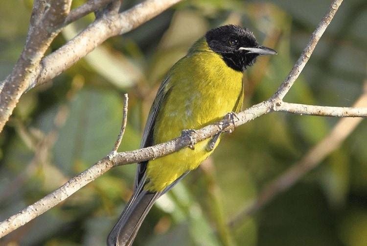 Perawatan Burung Samyong