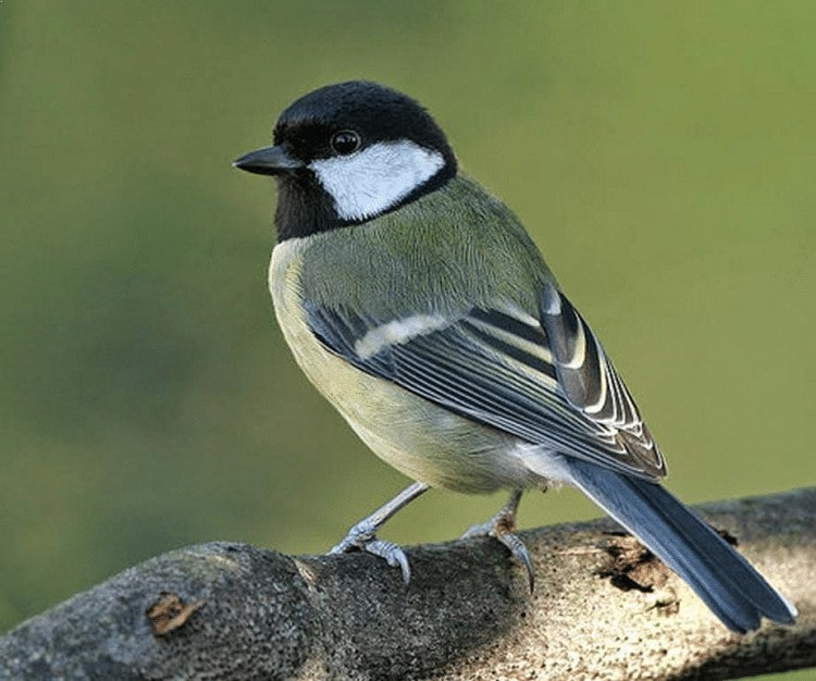 Cara Ternak Burung Gelatik Batu
