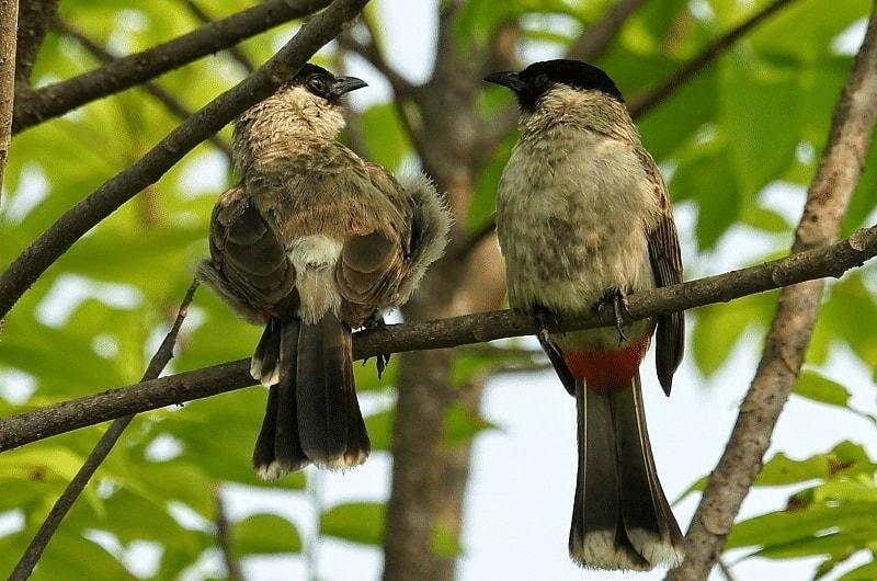 Cara Ternak Burung Kutilang