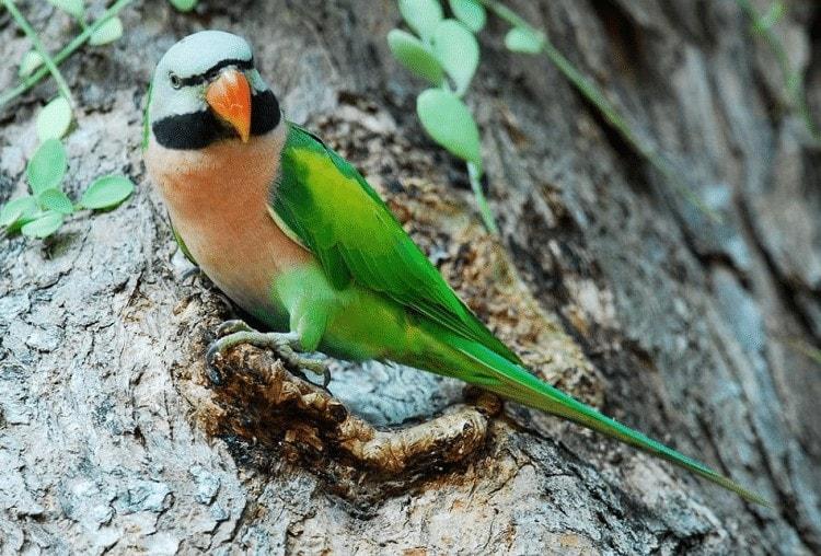 Burung Betet Ekor Panjang