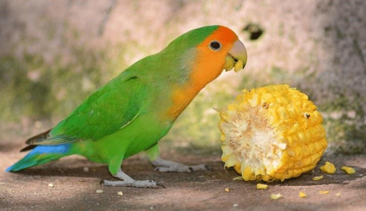 Faktor Penyebab Lovebird Muda Kurang Aktif