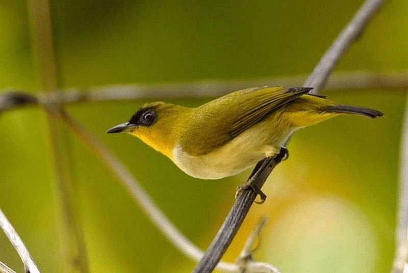 Habitat Burung Pleci Sangihe