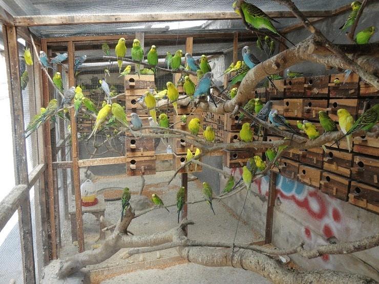 Cara Beternak Burung Parkit Agar Cepat Bertelur
