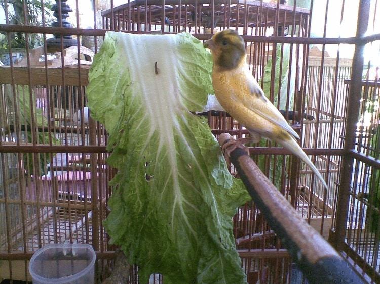 Manfaat Sayuran Sawi Untuk Burung Kenari