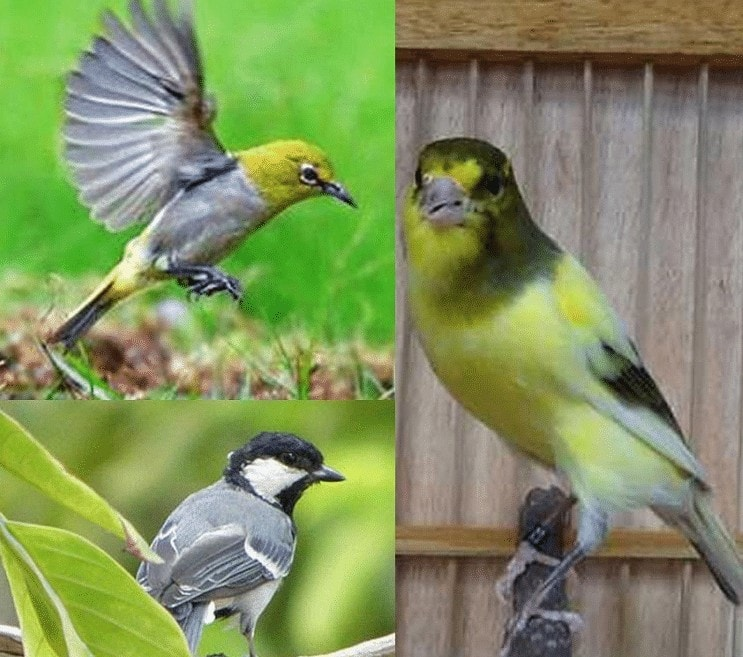 Jenis Burung Masteran Untuk Kenari