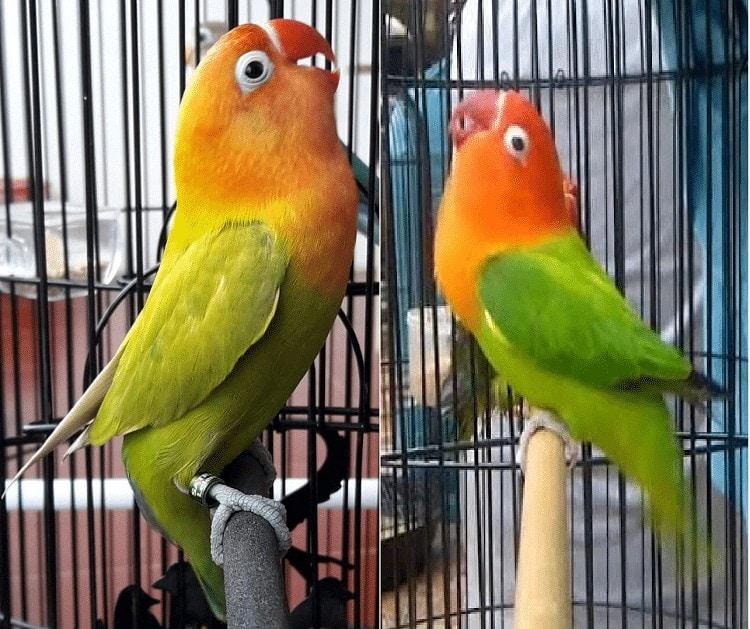Lovebird Siap Tarung