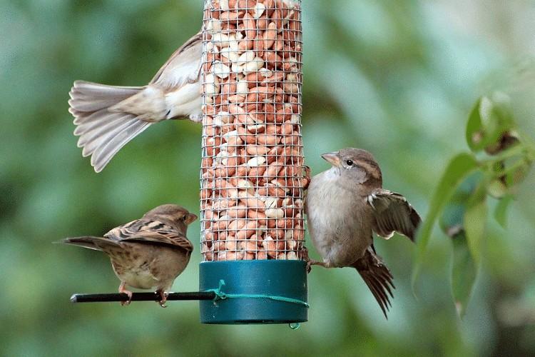 Makanan Burung Gereja Dewasa