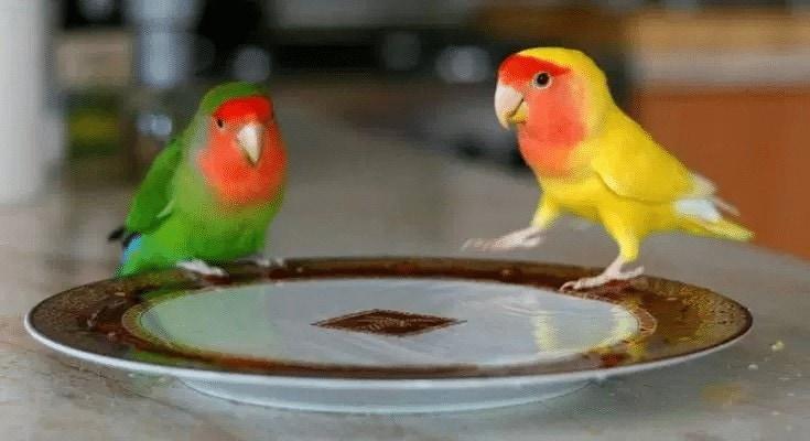 Manfaat Madu Untuk Lovebird