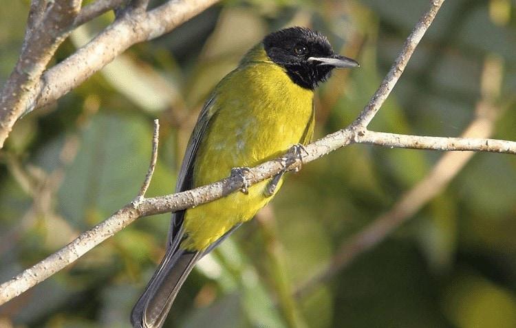 Karakteristik Burung Samyong