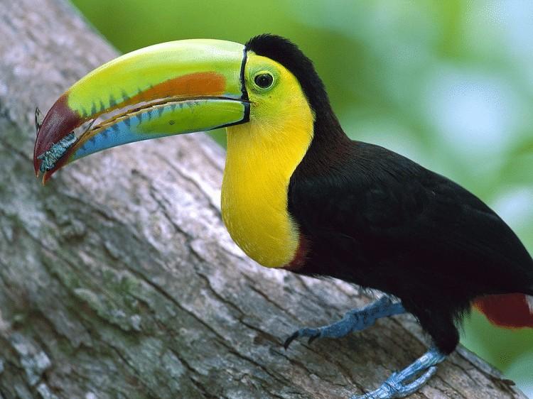 Keunikan Burung Toucan