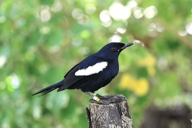 Perilaku Burung Kacer saat Berkembangbiak