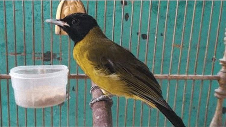 Pakan Burung Samyong