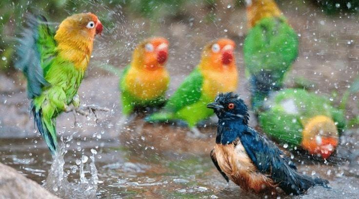 Pemandian Lovebird