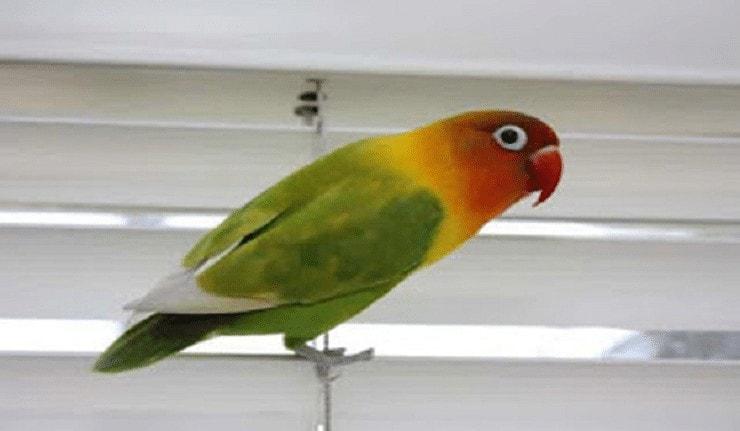 Penyebab Nyilet pada Burung Lovebird