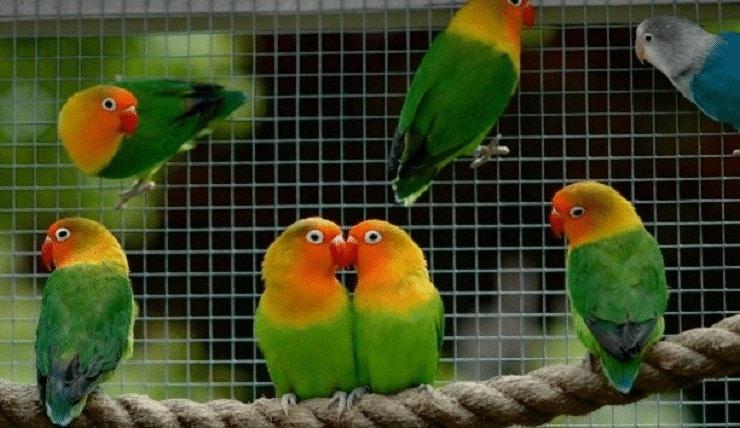 Lovebird Gangguan Pencernaan