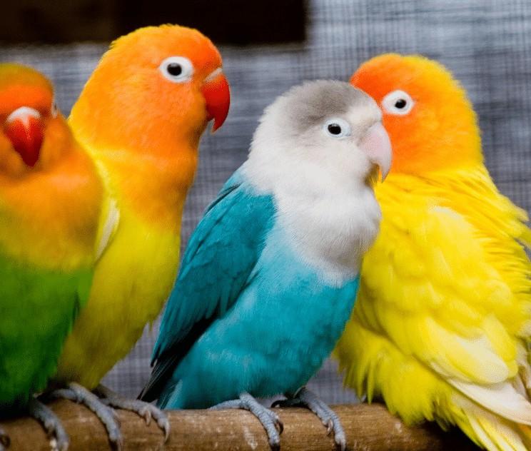 Perawatan Bulu Lovebird