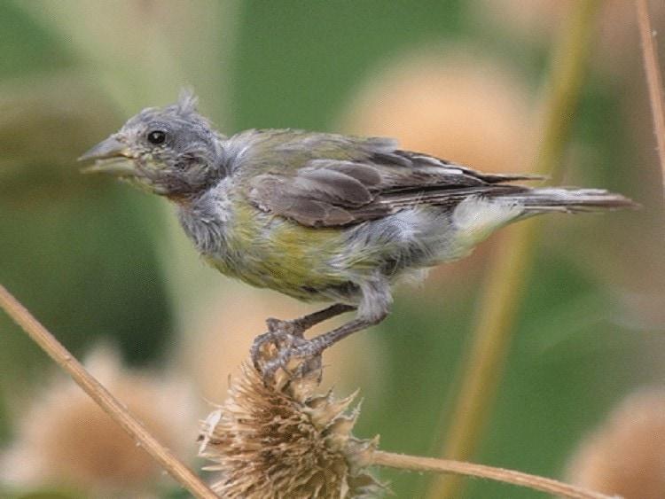 Perawatan Burung Pleci Saat Mabung