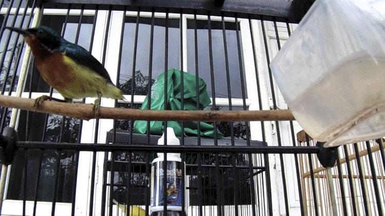 Perawatan Harian Kolibri Wulung