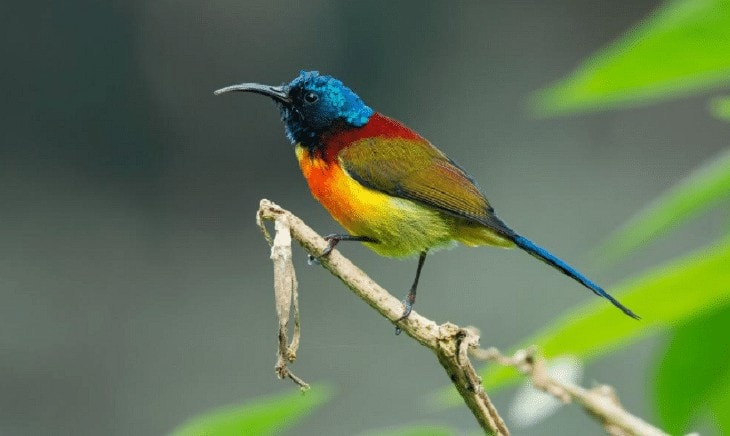 Perilaku Burung Madu Sangihe