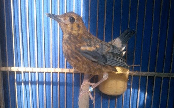 Perawatan Burung Anis Merah Trotolan