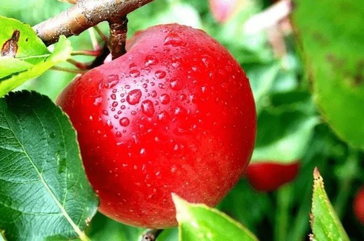 Sari Apel Merah Untuk Lovebird