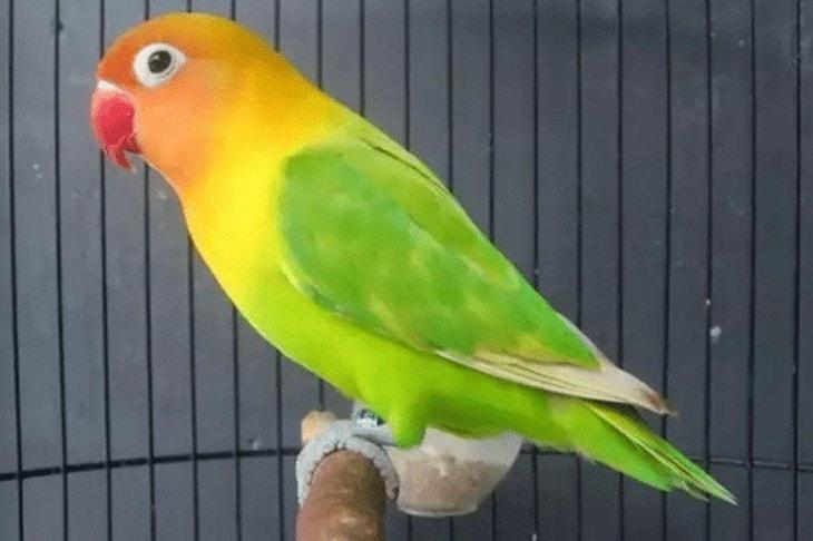 Tips Memaster Lovebird Yang Baik