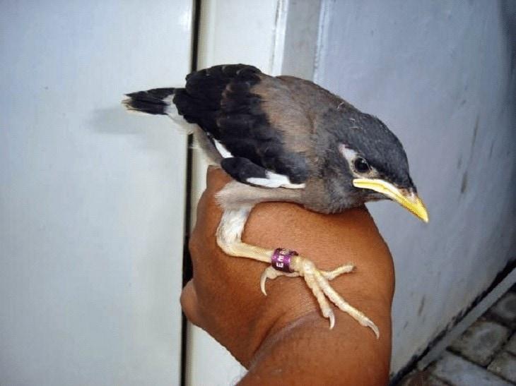 Menjinakkan Burung Jalak Nias